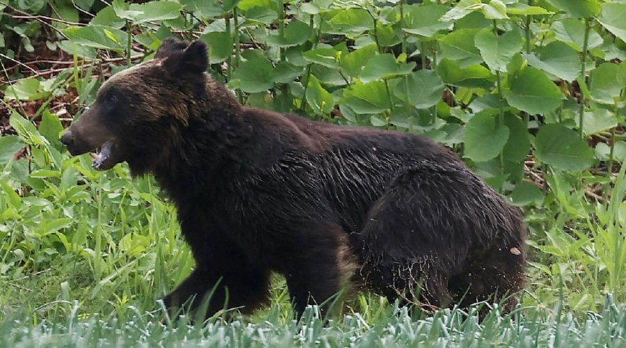 Bear shot dead in Japan after ransacking military base, injures four