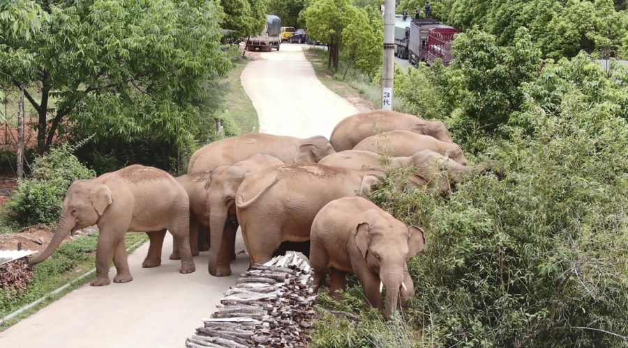 Stray elephants touch hearts in China. Humans may be the reason they left home.