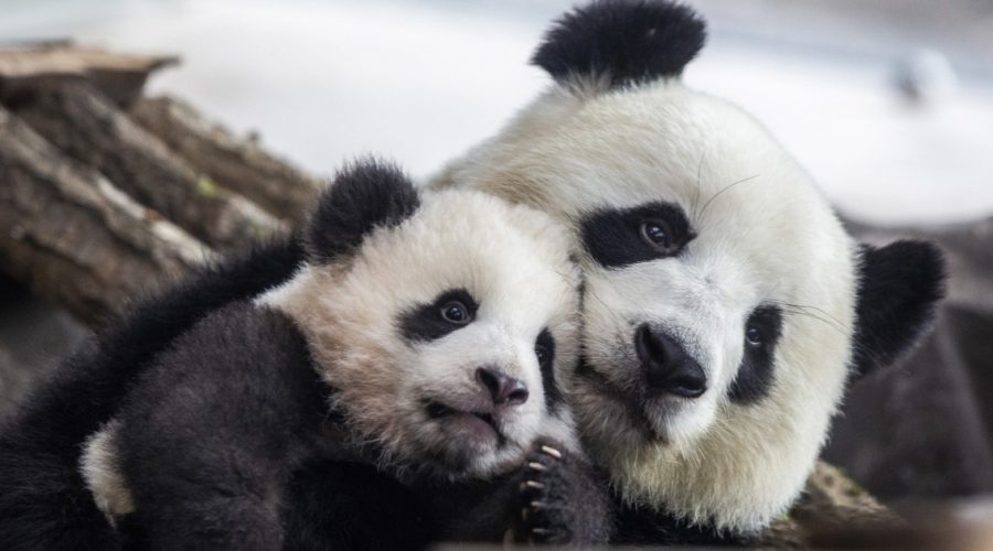 Giant pandas no longer classified as endangered after population growth, China says